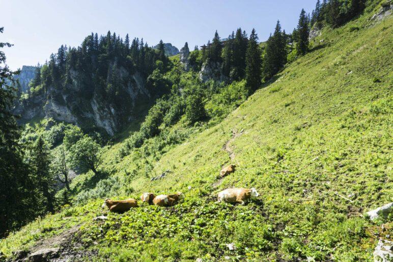 Kurz vor dem Ende der Wanderung versperren uns Kühe den Weg. Oben, in der Mitte hinter den Bäumen, ist die Sonnenalm zu sehen
